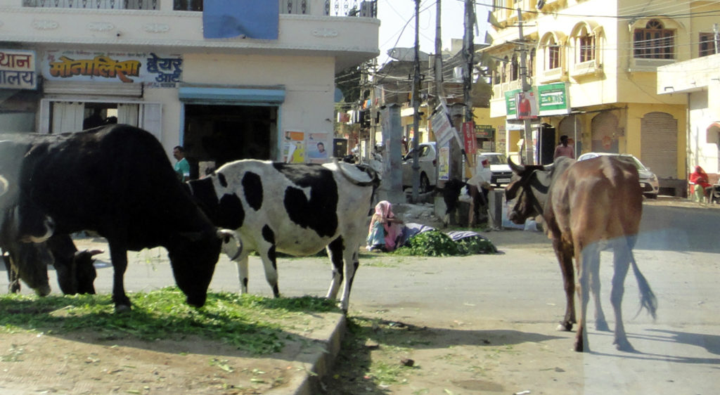 Hindu cities are full of cows, like Udaipur